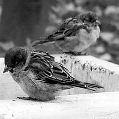 "photo ""Sparrow insults"""