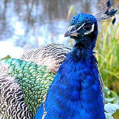 "photo ""peacock"""