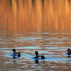 """фото """"ducks"""""""