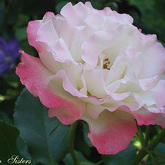 """фото """"Rose"""""""
