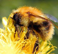"""photo """"Shaggy bumblebee"""""""