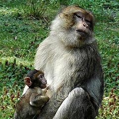 "photo ""Monkey family"""