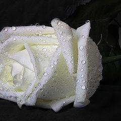 """фото """"Роза печальная"""""""