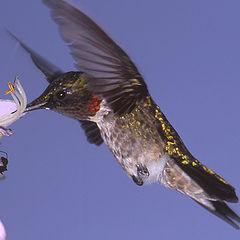 "photo ""Male Rubythroated Hummingbird"""