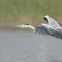 """photo """"Serial Killer - Grey Heron - Ardea cinerea"""""""