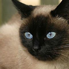"""фото """"Cat with blue eyes"""""""