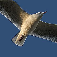 "photo ""Gul in flight"""