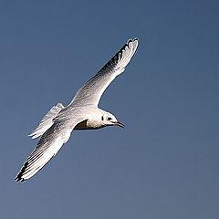 "photo ""Gull in flight 2"""