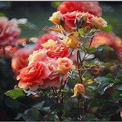 """фото """"Rose impression"""""""