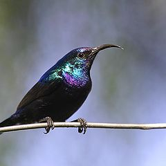 "photo ""Palestine Sunbird"""