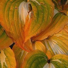 """photo """"Autumn Hostas"""""""