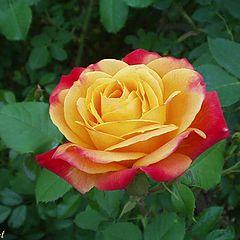 """фото """"Joseph`s Coat rose"""""""