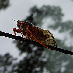 "photo ""Cicada X"""