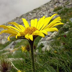 "фото ""mountain flower in Slovakia"""