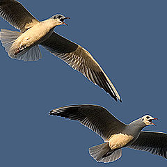 "photo ""Gull in flight 3"""