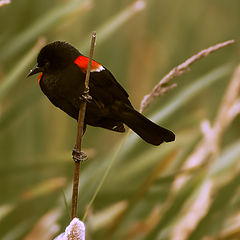 "фото ""red-winged blackbird"""