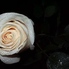 "photo ""rose-white"""