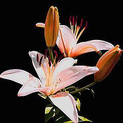 "photo ""Coroa de rainha flower"""
