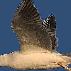"photo ""Gull in flight 4"""