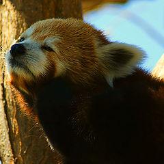 "photo ""Red Panda"""