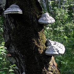 "photo ""Aging birch"""