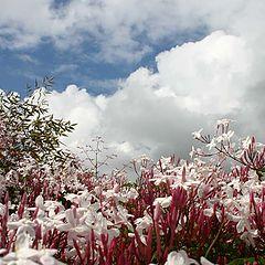 "photo ""Clouds and Jasmine !"""