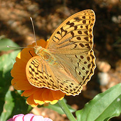 "photo ""Argynnis pandora ([Denis & Schiffermьller], 1775)"""