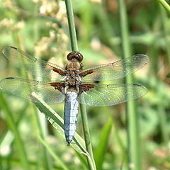 "photo ""Libellula depressa (Linnaeus, 1758)"""