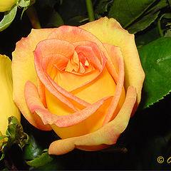 """фото """"Rose`s Heart"""""""