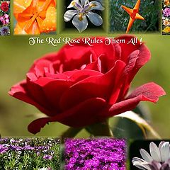 """photo """"The Red Rose Rules Them All !"""""""