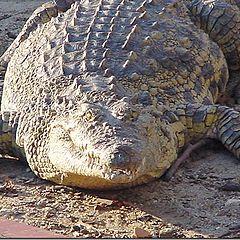 """фото """"Fat Croc"""""""