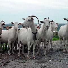 """фото """"Goat Herd"""""""