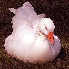 "фото ""White Duck"""