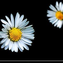 """фото """"Double Daisy"""""""