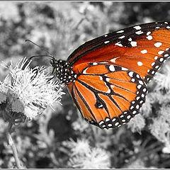 "фото ""Monarch"""
