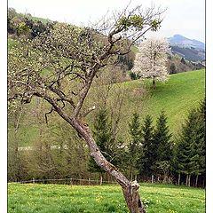"""фото """"Цветущие деревья"""""""