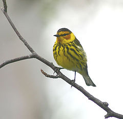 """photo """"Cape May Warbler"""""""