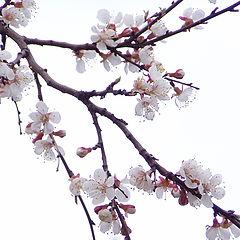 """фото """"Сакура"""""""