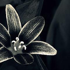 """photo """"la tulipe en argent"""""""