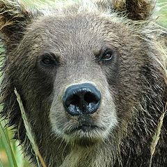 """фото """"Бурый медведь 2"""""""