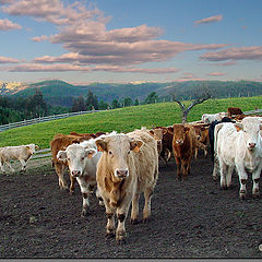 "фото ""Cattle"""
