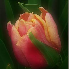 """фото """"Тюльпан для Юлии"""""""