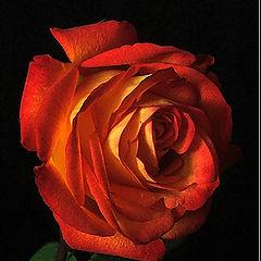 """фото """"Роза для тебя"""""""