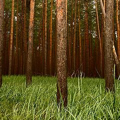 """photo """"Piny Forest"""""""
