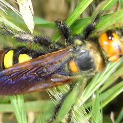 """photo """"hornet"""""""