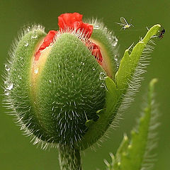 """photo """"Papaver and others :)"""""""
