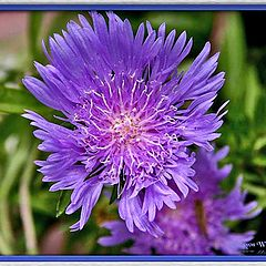"photo ""Purple Splendor !"""