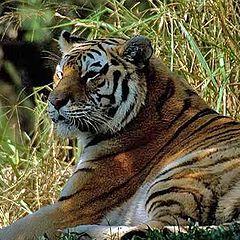 """фото """"Tiger"""""""