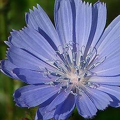 """photo """"Chicory"""""""