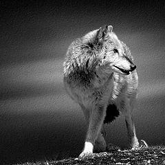 """фото """"Lone Wolf"""""""